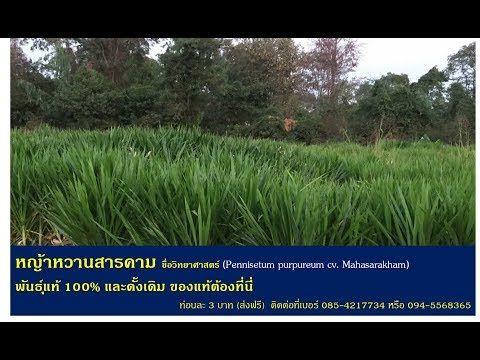 หญ าหวาน หญ าโปรต นส ง เล ยงว วเล ยงควายเล ยงหม เล ยงไก หญ าหวานมหาสารคาม เกษตรเด อนละ 1 แสน Youtube หญ าหวาน