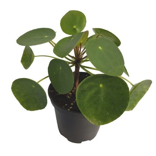 Pilea Kwiat Pieniazek Popularna Roslina 9176613579 Oficjalne Archiwum Allegro Plant Leaves Plants Kwiat