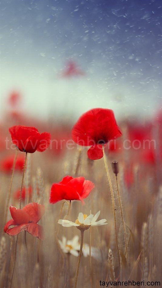 Hd Blumen Wallpapers Hintergrundbilder In 2020 Rosen Hintergrundbilder Blumen Wallpaper Hintergrundbilder