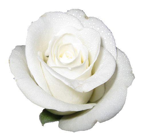 Elegant Bathroom Rose: White Elegant Rose With Transparent