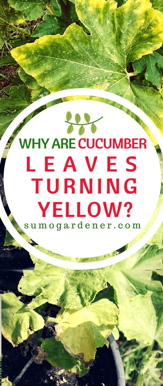 These Are The Information On Why Cucumber Leaves Turning Yellow Is A Problem And How You Can P Cucumber Leaves Turning Yellow Cucumber Plant Cucumber Gardening