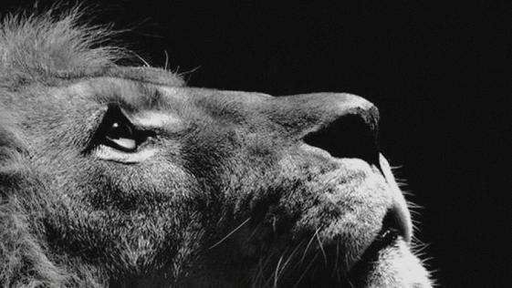 Wallpaper For Iphone X Animal Iphone Wallpaper Hd Image For Best Hd Wallpaper For Apple Iphone 7 Plus Lion Looking Sky Animal Nature Dark P Beautifulo Fond Ecran