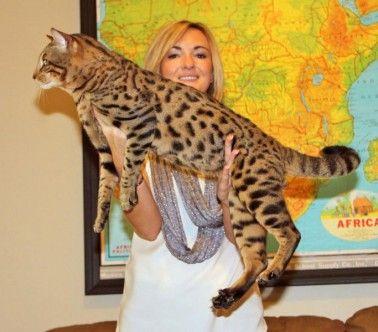Joomah, F5 SBT Savannah Stud savannahcats exoticcats