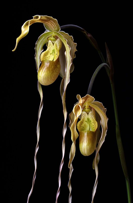 Phrag. orchid - so strange and lovely!