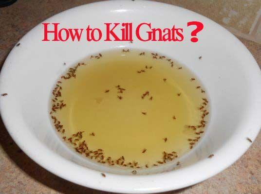 44462cd8529fa83d62634a4f5728dfa6 - How To Get Rid Of Gnats In A Home