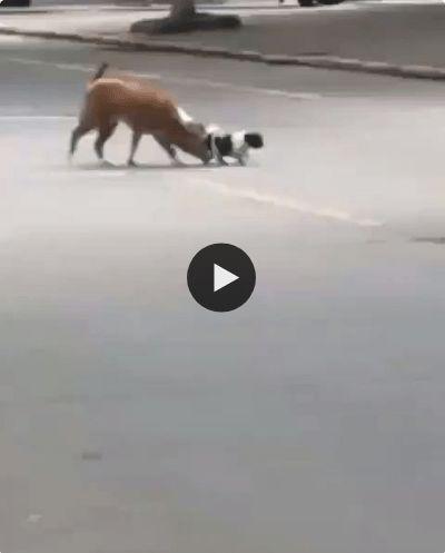 Esses dois cãozinho estão dando volta pela rua.