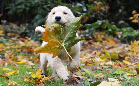 pictures of animal and autaum | Puppy, animal, autumn, dog, leaf, puppy