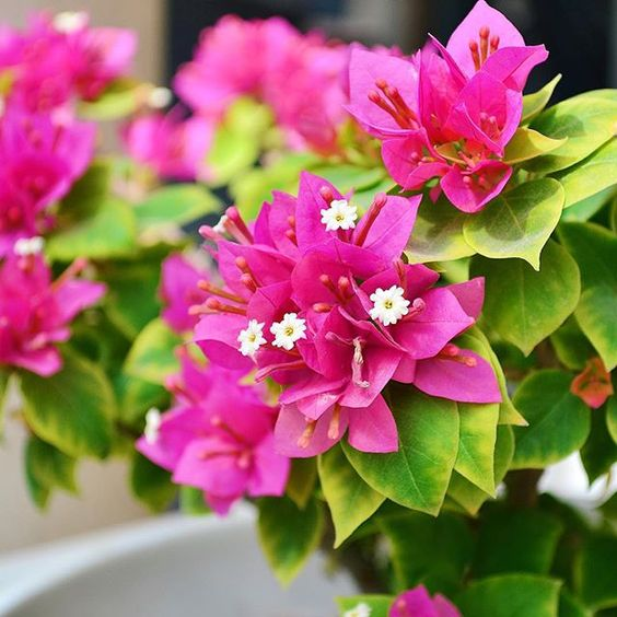 Bougainvillea closeup to brighten your day.#ihavethisthingwithpink