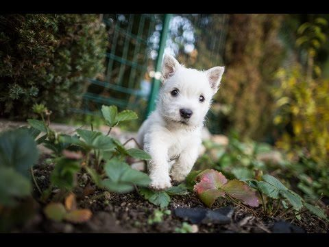 Little Monsters Westie 7 Weeks Old Youtube Westie Puppies