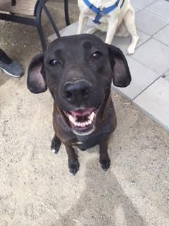 Saide - URGENT - Valley Oak SPCA in VISALIA, CA - ADOPT OR FOSTER - 7 year old Spayed Female Lab Retriever Mix