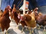 Urban Chickens 101: Moving chicks to the coop