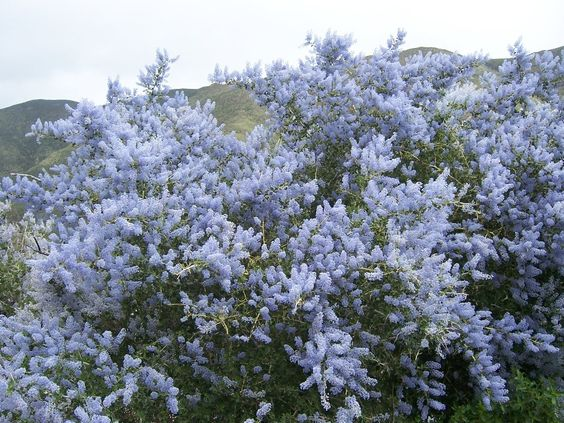 Ceanothus leucodermis (Wild lilac) - White Bark CA Lilac is very drought tolerant and reaches 8 to 10 wide tall and wide.: