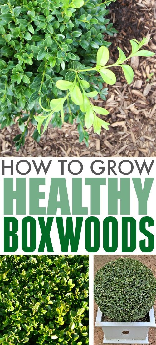 How To Grow Boxwoods The Creek Line House Boxwood Landscaping Boxwood Garden Boxwood Plant
