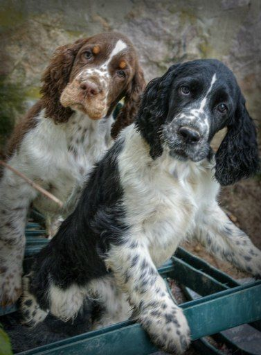 English Springer Spaniel Puppy Dogs