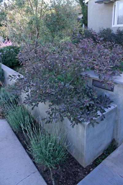 Arabian lilac a garden gem Modern Pinterest Gardens Lilacs