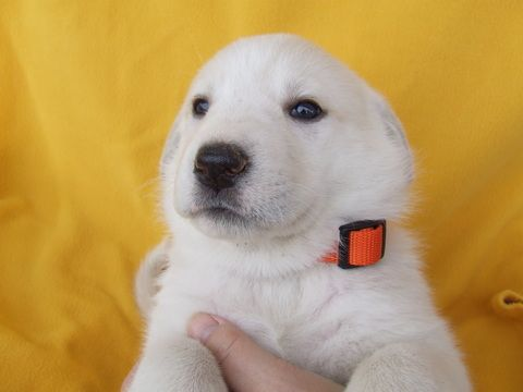 Litter Of 10 Alaskan Malamute Great Pyrenees Mix Puppies For Sale