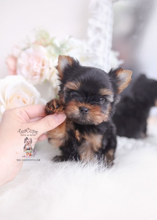 Teacup Yorkie Puppies For Sale 088 Aa In 2020 Yorkie Puppy Teacup Puppies Teacup Puppies For Sale
