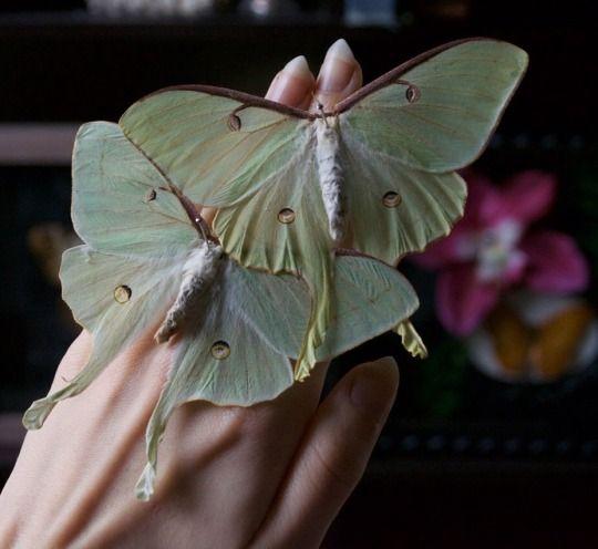 Pin Von Sonja Berner Auf Schmetterlinge Motte Tiere Schmetterling