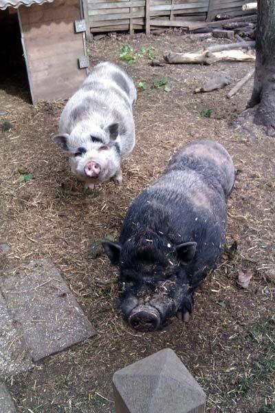 IG-Minischwein Österreich - Alles rund ums Minischwein