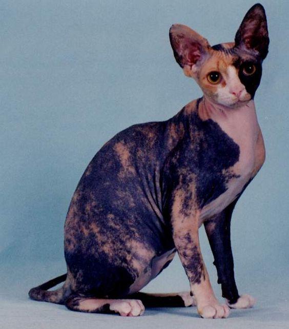 Sphynx, Sphynx cat and Love her on Pinterest