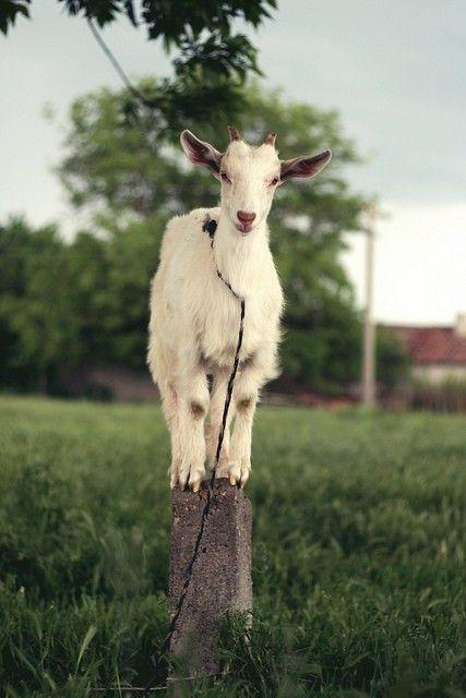 goats, please....