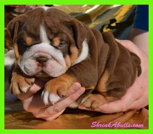 Home Training Your Brand New English Bulldog Or French Bulldog