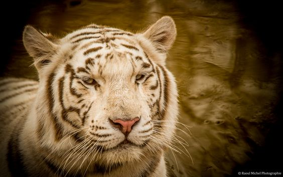 Le Tigre blanc... by Raoul Michel Photographie on 500px
