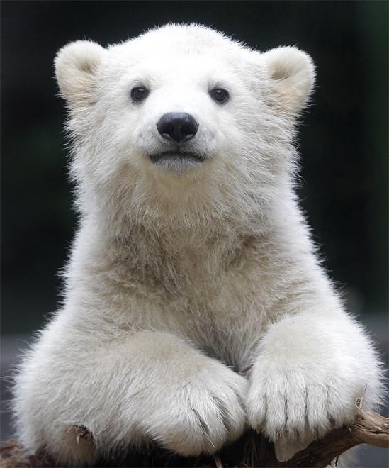 Polar bear cub Anori