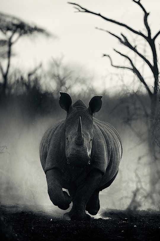 * * You don't have to think of much else when a rhino is charging you.