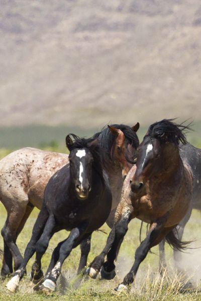 WILD NATURE – Wild mustangs in UTAH photograph by Dr. Joseph T. McGinn – Enjoy travel and freedom? Explore inspiring quotes on travel and wanderlust at http://www.examiner.com/article/inspiring-quotes-on-travel-and-wanderlust