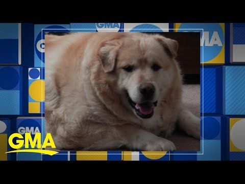 Kai The Golden Retriever Weighed 173 Pounds When His Foster Owner
