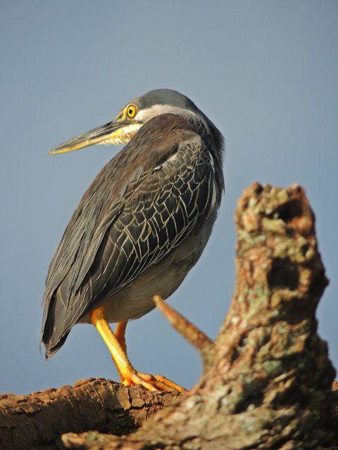 Foto socozinho (Butorides striata) por José Augusto | Wiki Aves - A Enciclopédia das Aves do Brasil