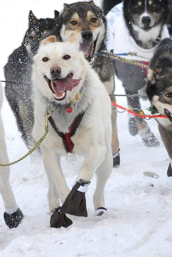 Iditarod Trail Sled Dog Race 2020 In Alaska Dates Map Dogs