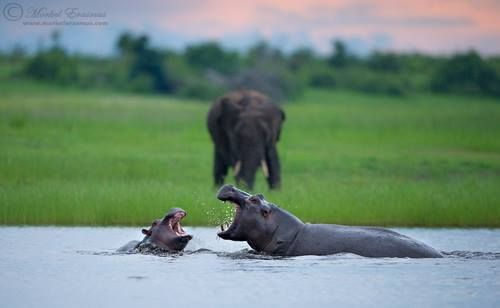 Two young hippos engage in play-fighting to the amusement of a lone Elephant on the banks of the Chobe river. Photo by Morkel Erasmus