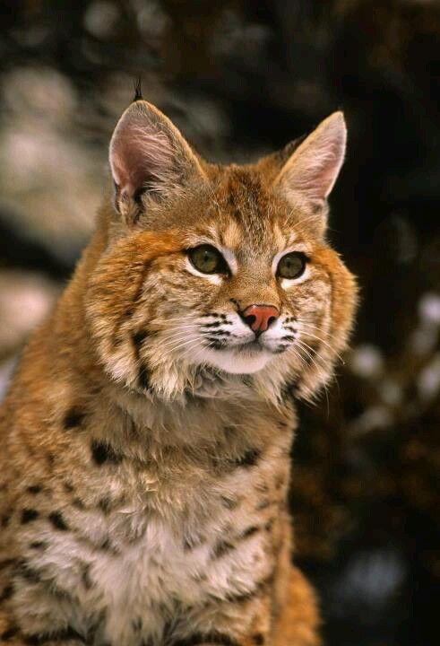 Bobcat - gorgeous