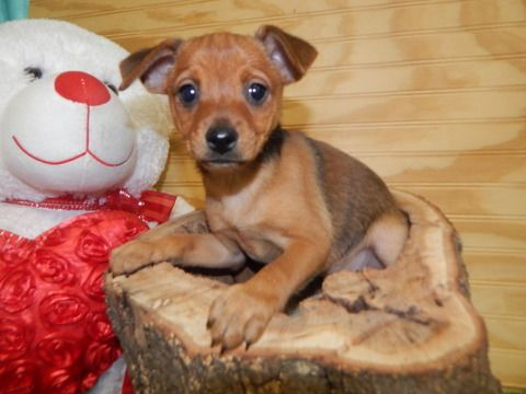 Miniature Pinscher Puppy For Sale In Hammond In Adn 60534 On