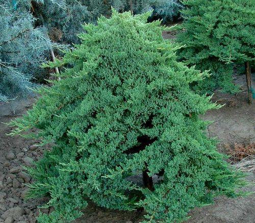 Juniper Old Gold Conifers Garden Plants Shade Garden