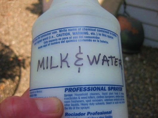According to author and horticultural professor Jeff Gillman, who has conducted extensive research on blackspot remedies, a spray composed of one part milk and two parts water is the best answer to the disease. He says this simple solution, if applied weekly, will control blackspot as well as any synthetic fungicide, including Chlorotalonil.