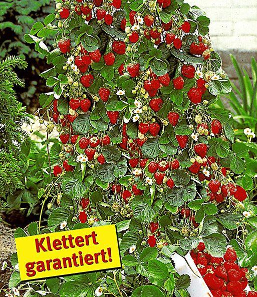 Kletter Erdbeere Hummi Und Dekor Erdbeeren Bei Baldur Garten Erdbeerpflanzen Erdbeeren Garten Erdbeeren Pflanzen
