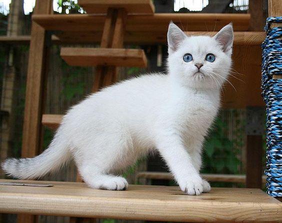 British Shorthair Kitten | Cattery Gryffindors | Germany