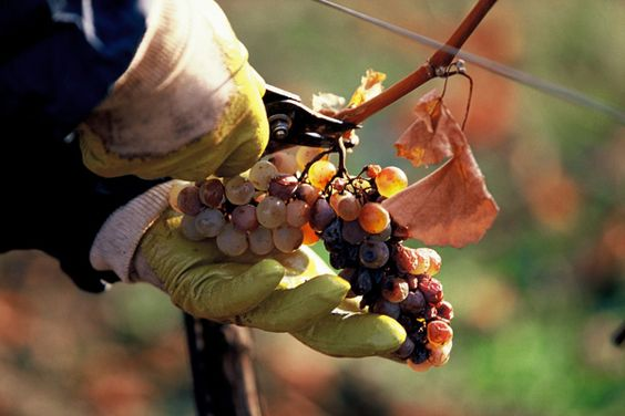Austria's (Surprising) Sweet Wines - Saveur.com