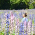 Lupini: ricordo di viaggio dalla Nuova Zelanda Lupines flowers