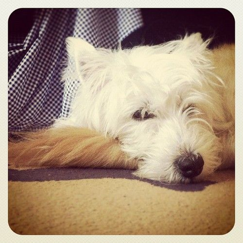 West Highland White Terrier sleeping on Golden Retriever's tail Tumblr