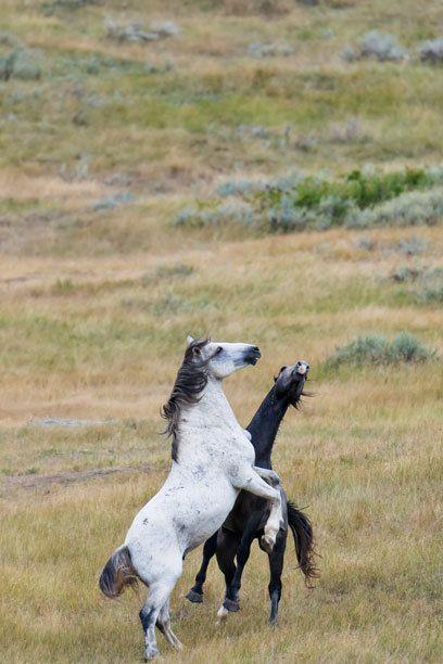 wild horses - Wildpferde in North Dakota - Nordamerika!