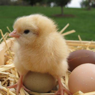 Feeding Chickens at Different Ages | Eggs, The egg and Baby chicks