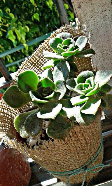 #suculenta #plant #sun #green