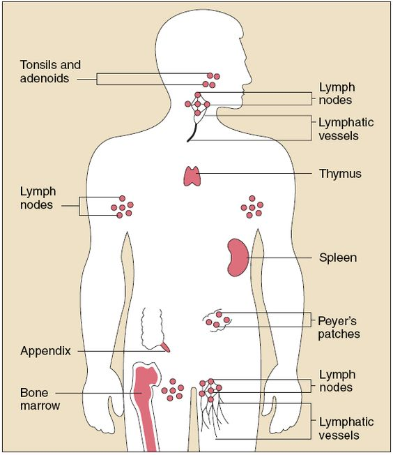 lymphatic system worksheets without labels - Google Search ...