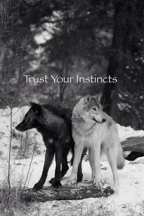 Trust Your Instincts--Gray Wolves--Wolf Den Shared Infinitely Wolves Photo                                                                                                                                                      More