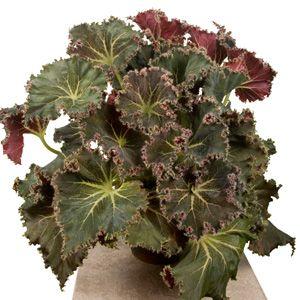 Begonia 'Susie's Curl' (Begonia rhizomatous hybrid):