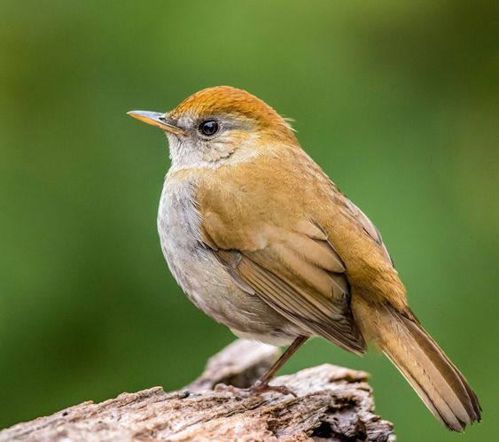 70. Ruddy-capped Nightingale-Thrush (Catharus frantzii) | Mexico to Panama
